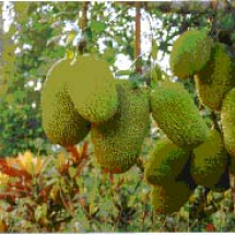 jackfruit-on-tree1